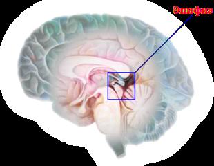 Мелатонин вырабатывается эпифизом (шишковидной железой)