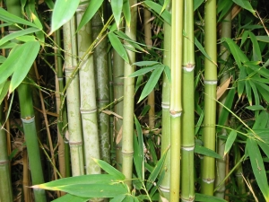 Бамбук растет очень быстро