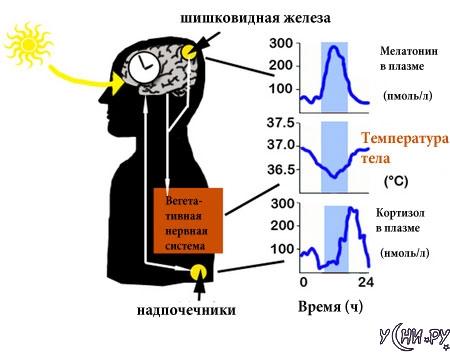 Как работают биологические часы